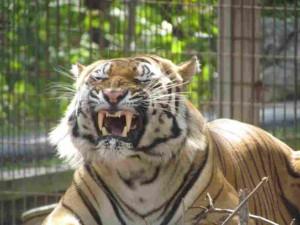 Crown Ridge Tiger Izzy