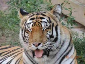 Crown Ridge Tiger Sanctuary - Thor