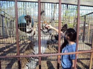 Crown Ridge Tiger Feeding Tour