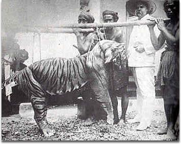 bali-tiger