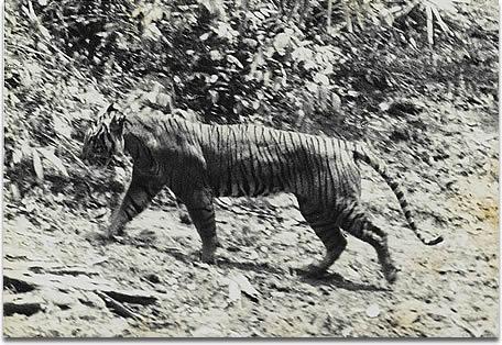 javan-tiger