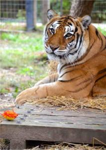 Raja  - Crown Ridge Tiger Sanctuary