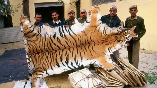 434135_poaching-endangered-species49_epsicuaitwlfo42x7yedw6mpvtncurxrbvj6lwuht2ya6mzmafma_610x343