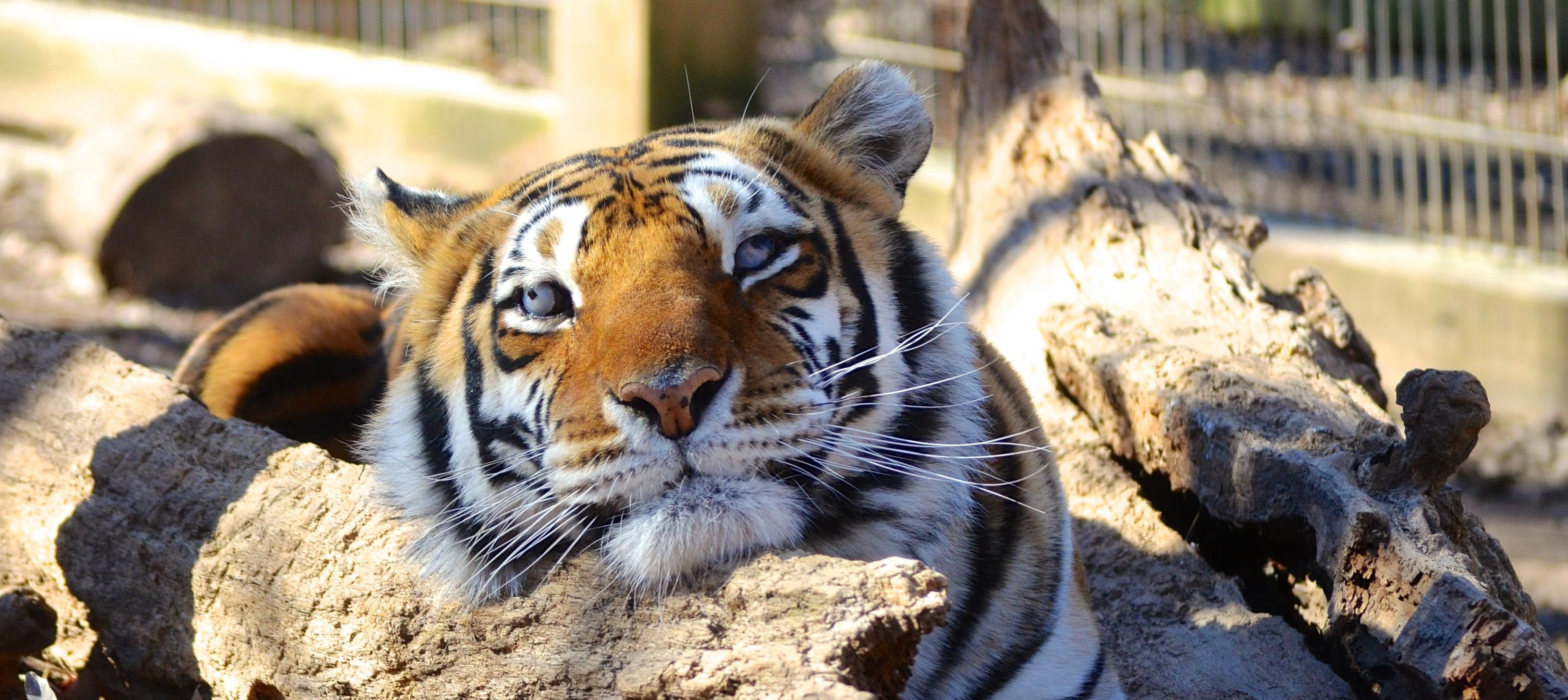 Gracie Crown Ridge Tiger Sanctuary